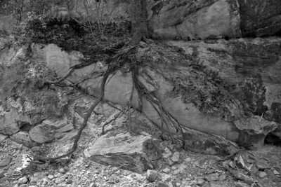 Tree roots along the Angels Landing Trail (20090511_PX1_5791-B1)