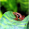 Little poison frog (from behind glass)