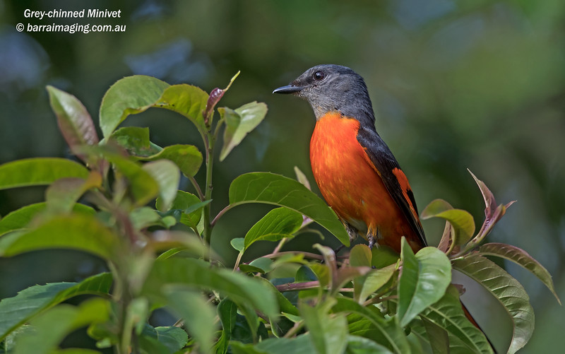 Grey-chinned Minivet male
