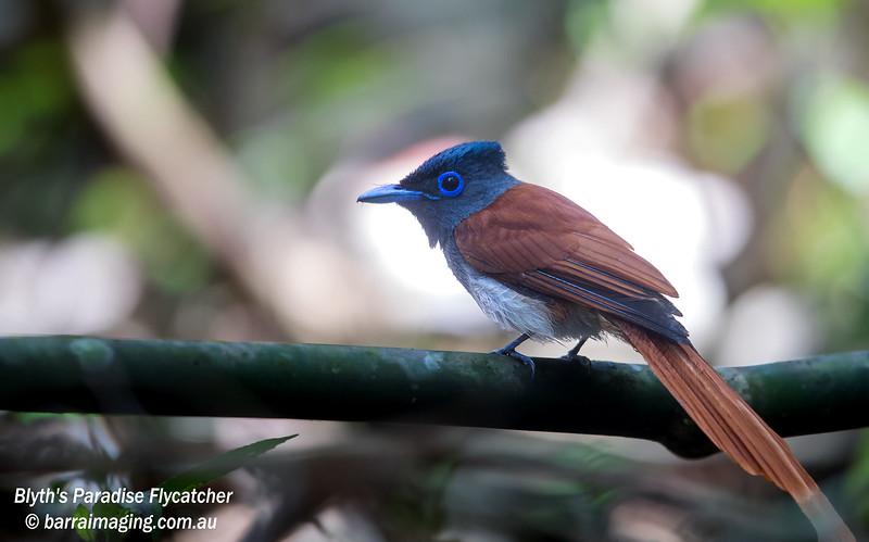 Blyth's Paradise Flycatcher male
