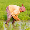 Working in the rice paddies in Kampong Chhnang Province Cambodia