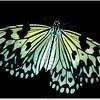 Idea Leuconoe Papiervlinder / Butterfly