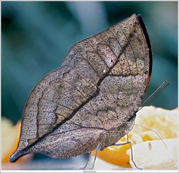 Kallima paralekta / Oak leaf butterfly