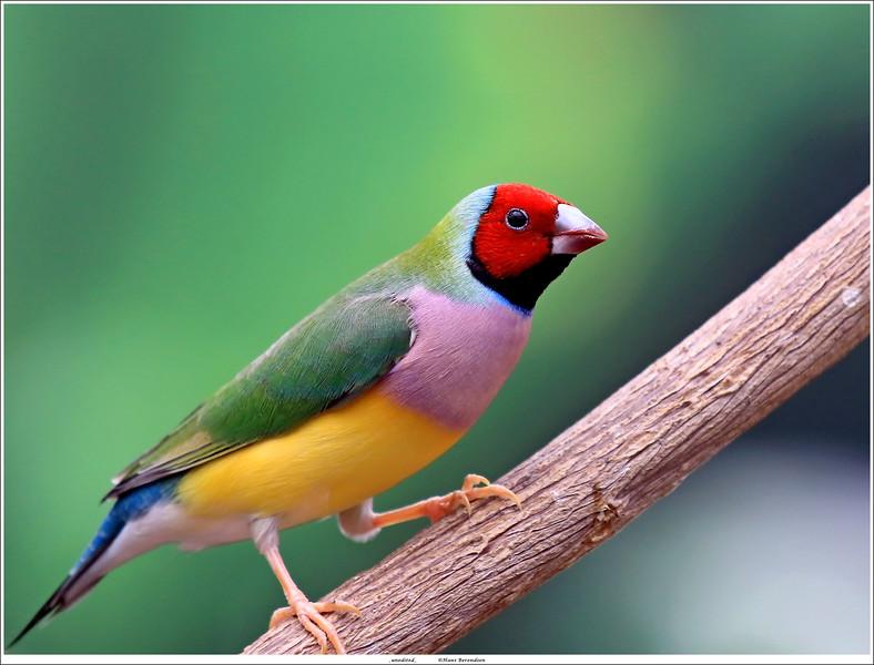 Gouldamadine vink / Gouldian finch a.k.a. Rainbow finch (unedited)