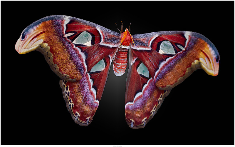 World's second largest moth: Attacus atlas