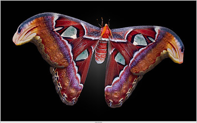 World's second largest moth: Attacus atlas