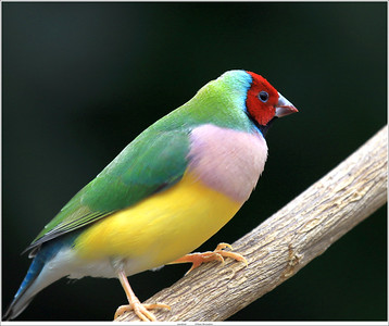 Gouldamadine vink / Gouldian finch a.k.a. Rainbow finch (unedited)