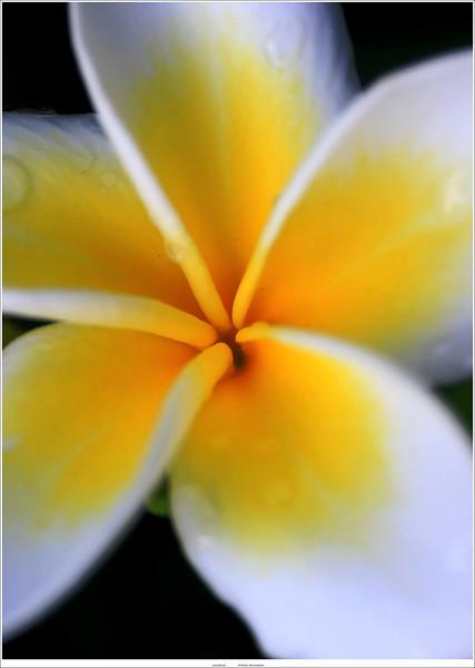 Plumeria / Frangipani (unedited)