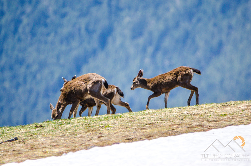 Deer at the top of Hurricane Ridge in Olympic National Park.