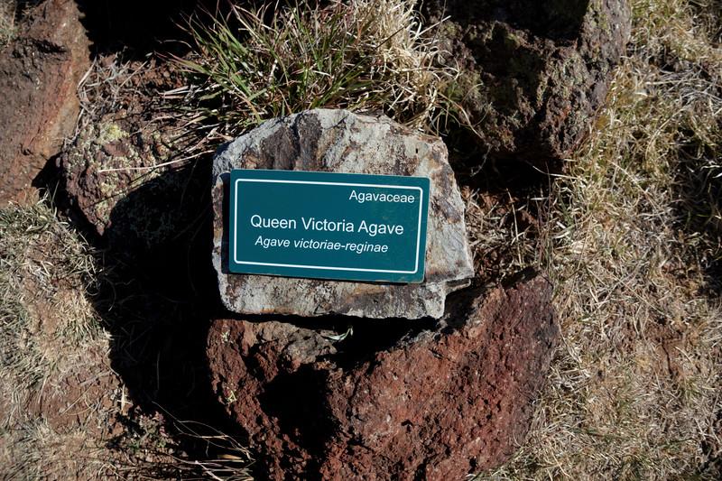 4-21-16 Queen Victoria Agave - Chihuahuan Desert Research Institute - Ft Davis, TX-00922