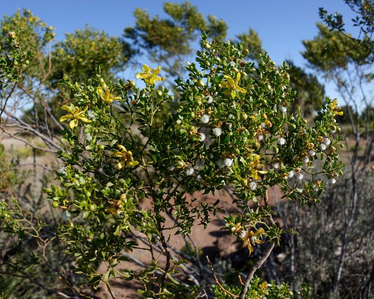 4-21-16 Shrub - Chihuahuan Desert Research Institute - Ft Davis, TX-00911