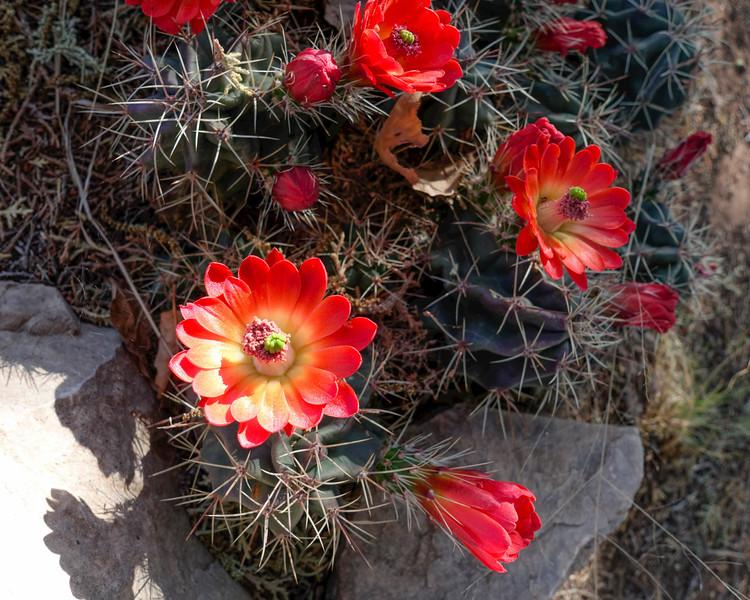 4-21-16 Claret Cup Cactus - Chihuahuan Desert Research Institute - Ft Davis, TX-00902
