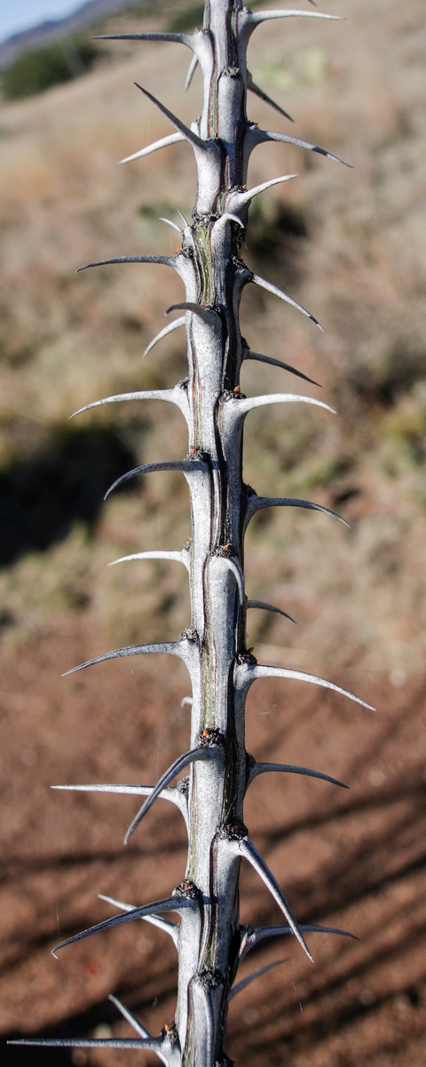 4-21-16 Cactus Spines - Chihuahuan Desert Research Institute - Ft Davis, TX-00915