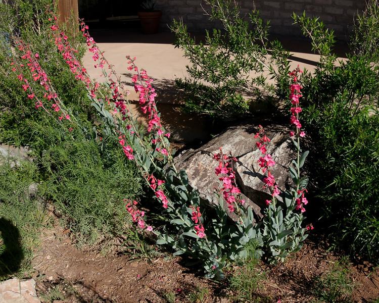 4-21-16 Penstemon - Chihuahuan Desert Research Institute - Ft Davis, TX-00905