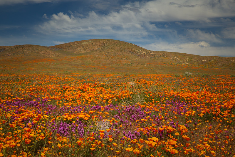 Poppy Field, Antelope Valley
