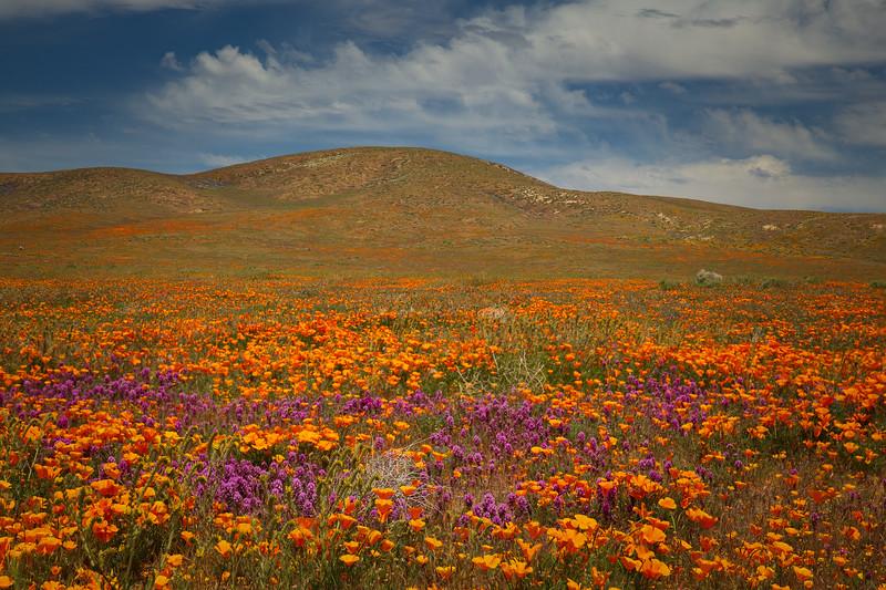 Poppy Field, Antelope Valley
