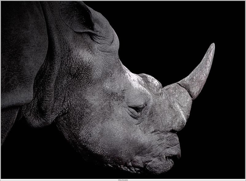 Rhino in B/W