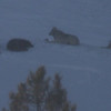 Here are four of the five wolves in a badly digiscoped photo. You'll have to trust us that the view was much better through the scope.