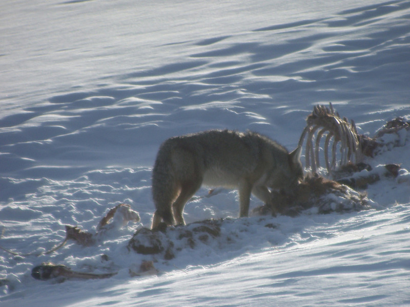 Coyote and carcass