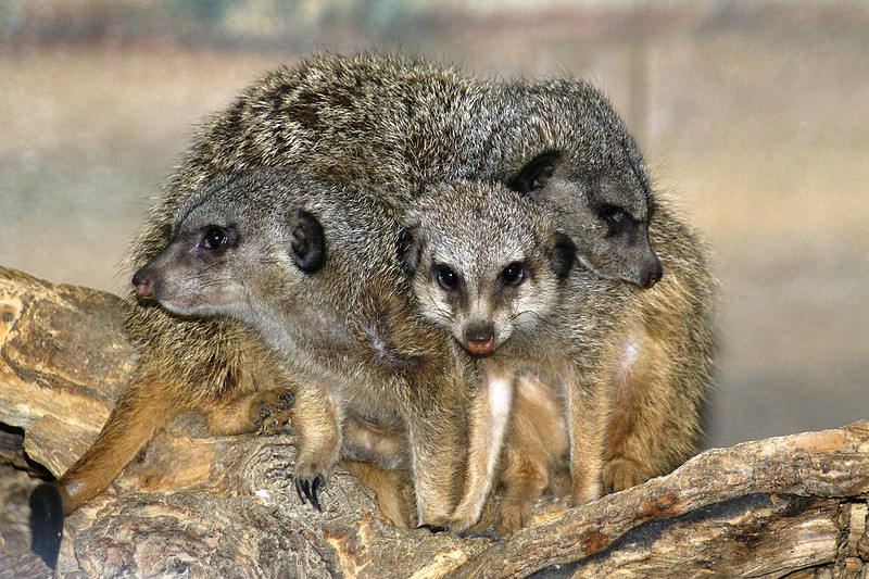 A family of Meerkats.