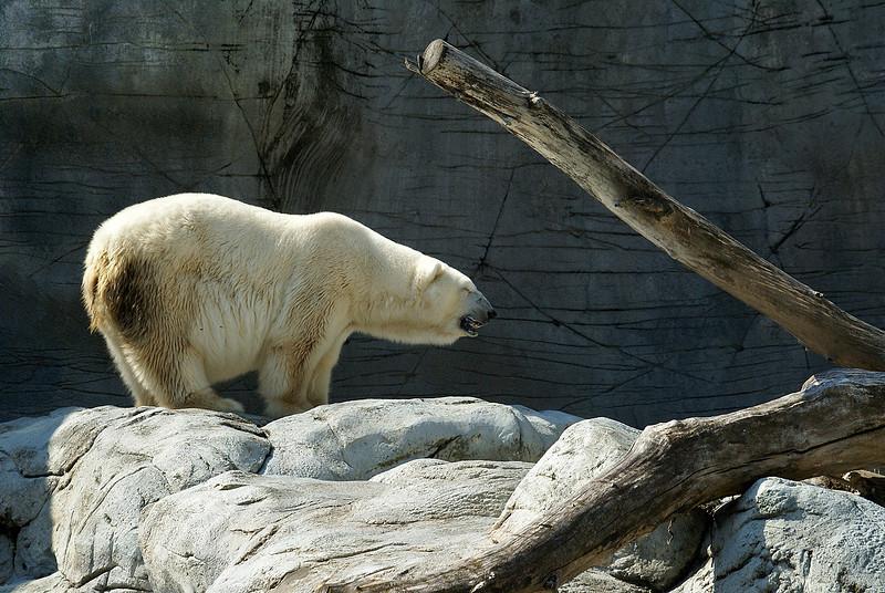 The resident Polar Bear.