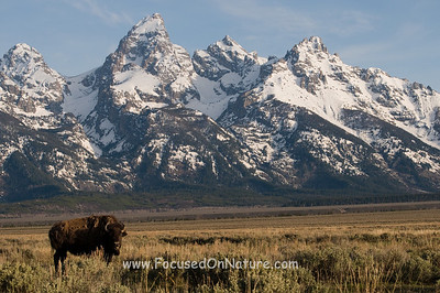 Tetons with Bison
