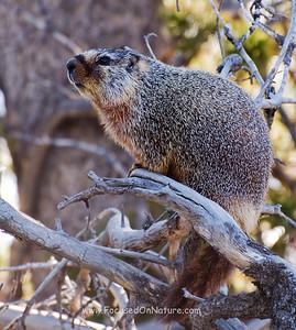 Marmot Standing Guard