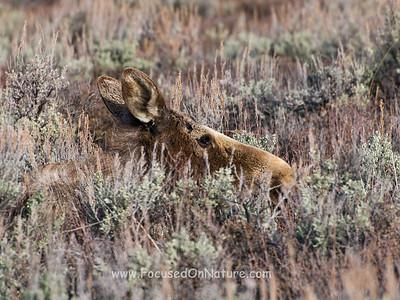 Moose in Hiding