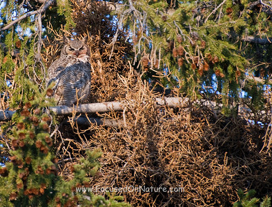 Great-horned Owl with Nest