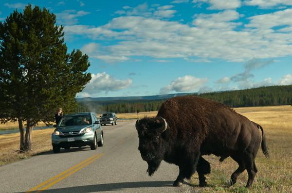 Bison Classic Postcard