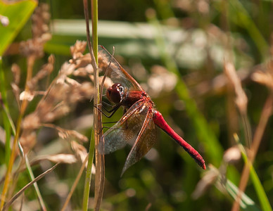 Red Dragonfly Resting