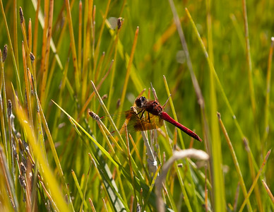 Red Dragonfly Catching Sun