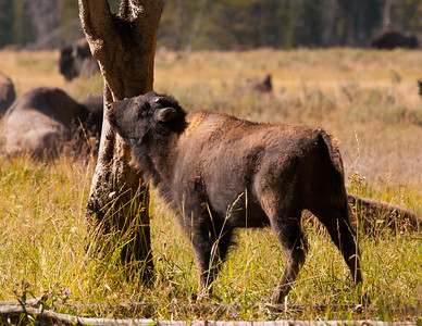 Bison Calf Has An Itch