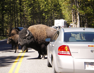 Bison Right of Way