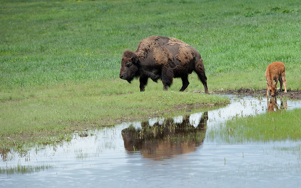 The Bison Waterhole