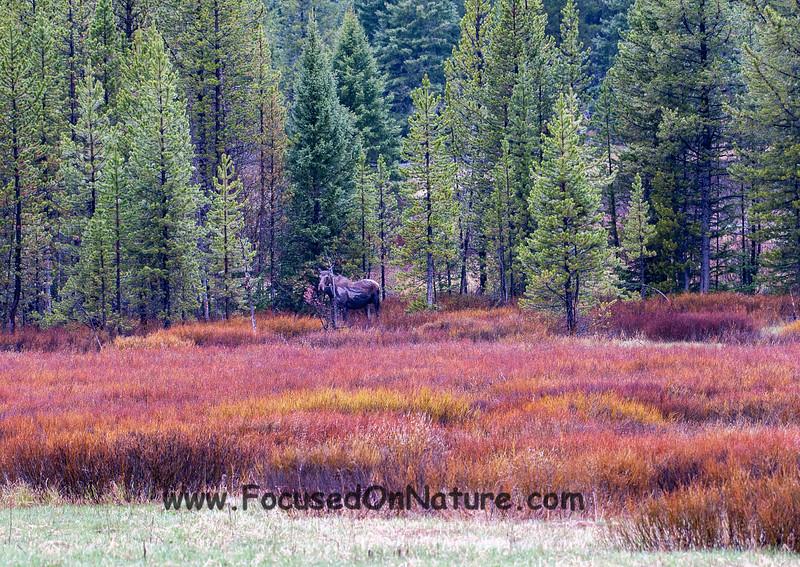 Lower Barronette Moose