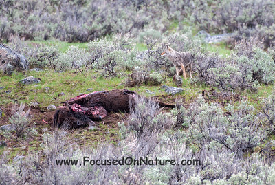 Coyote Approaching Carcass
