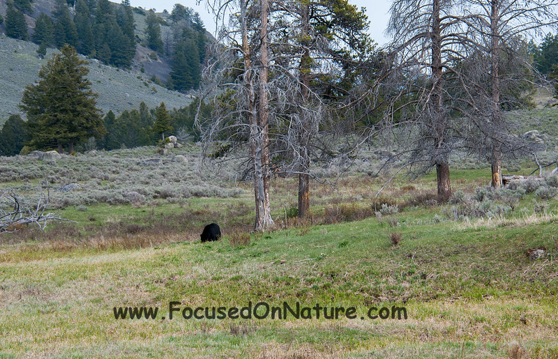 Black Bear at Roosevelt