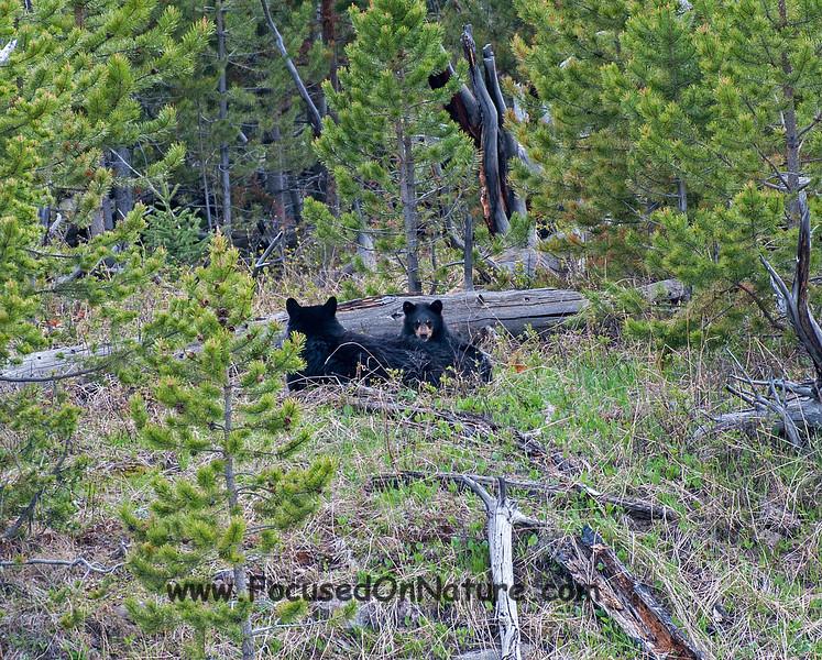 Resting Black Bears