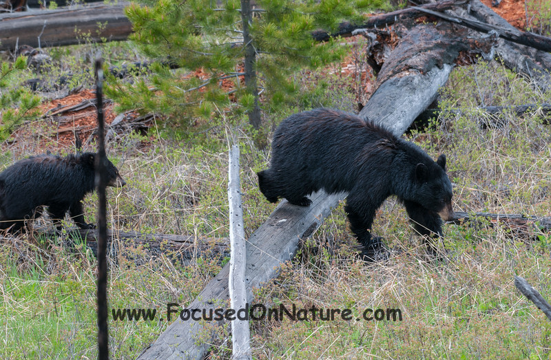 Black Bear with Juvenile