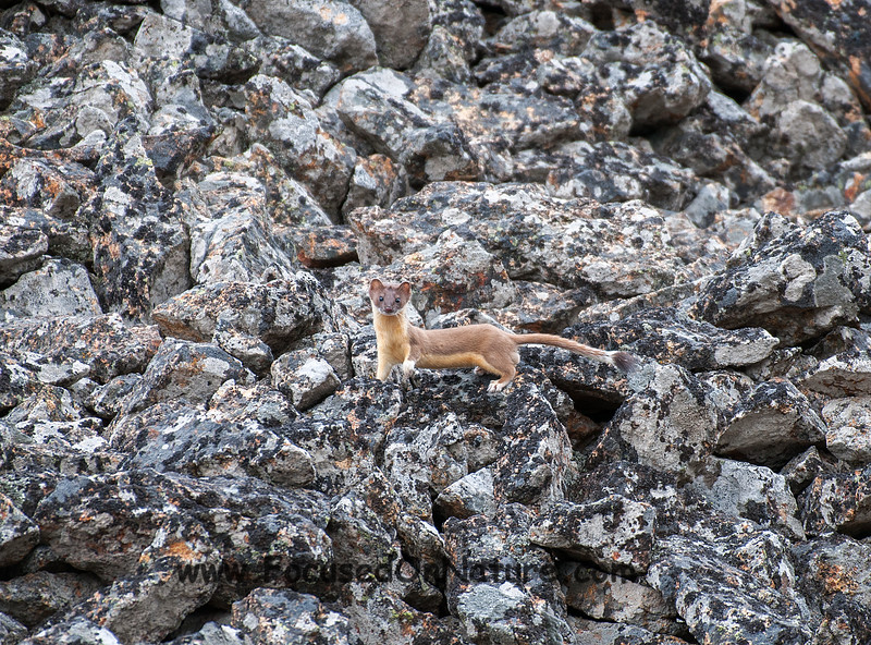 Long-tailed Weasel Pause