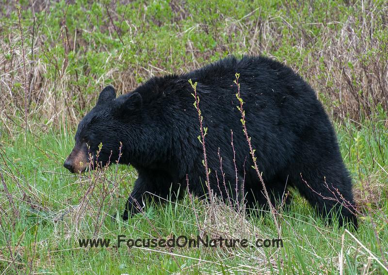 Mama Black Bear