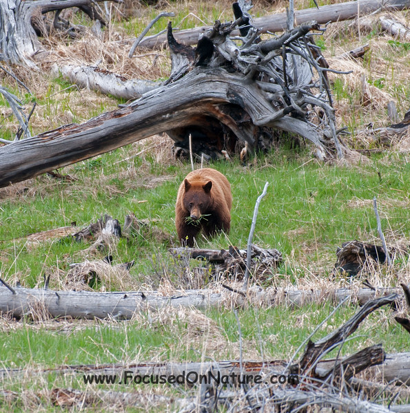 Grazing Cinnamon Black Bear