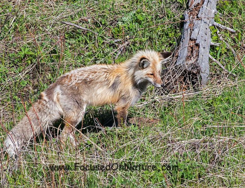 Red Fox Listening