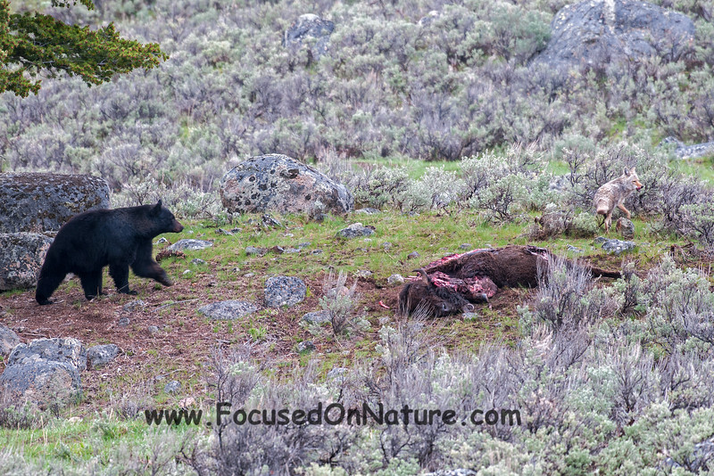 Black Bear Defending Carcass