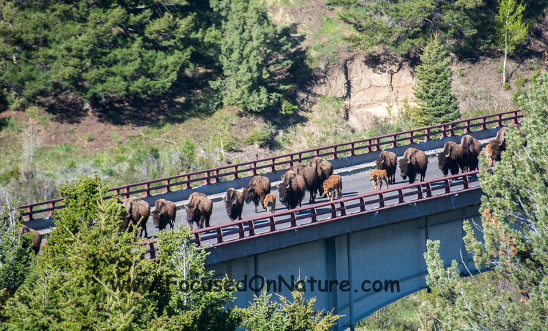 Why Did the Bison Cross the Bridge?