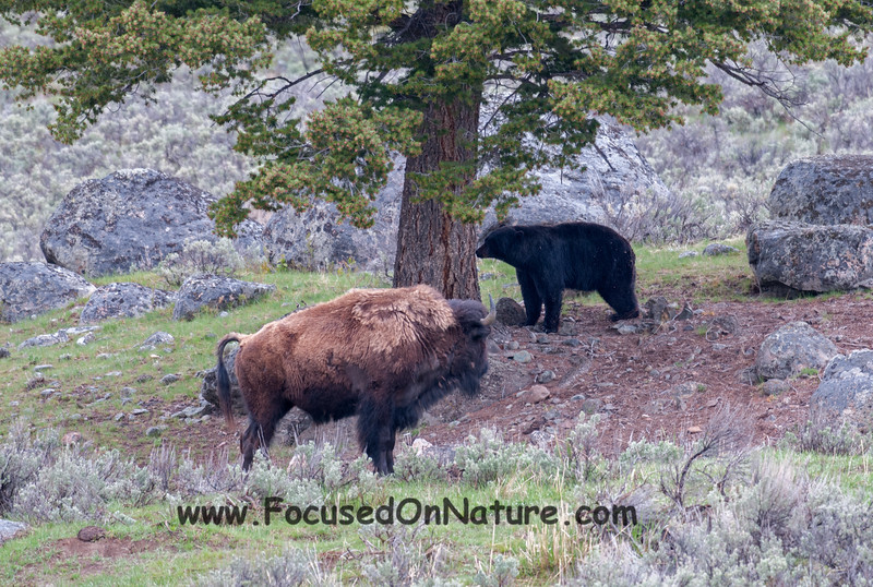 Bison Eyeing Bear