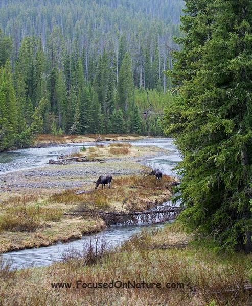 Moose Pair