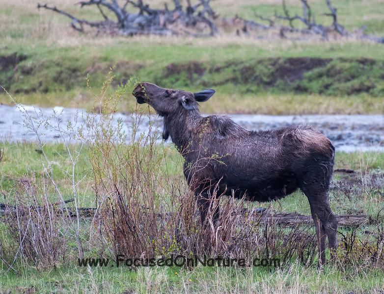 Mama Moose Still Unmoved
