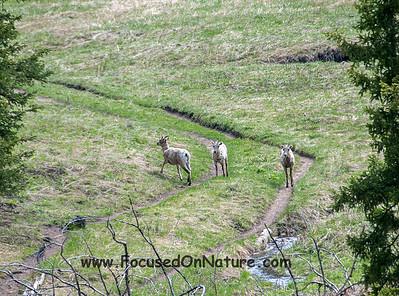 Bighorn Ewes